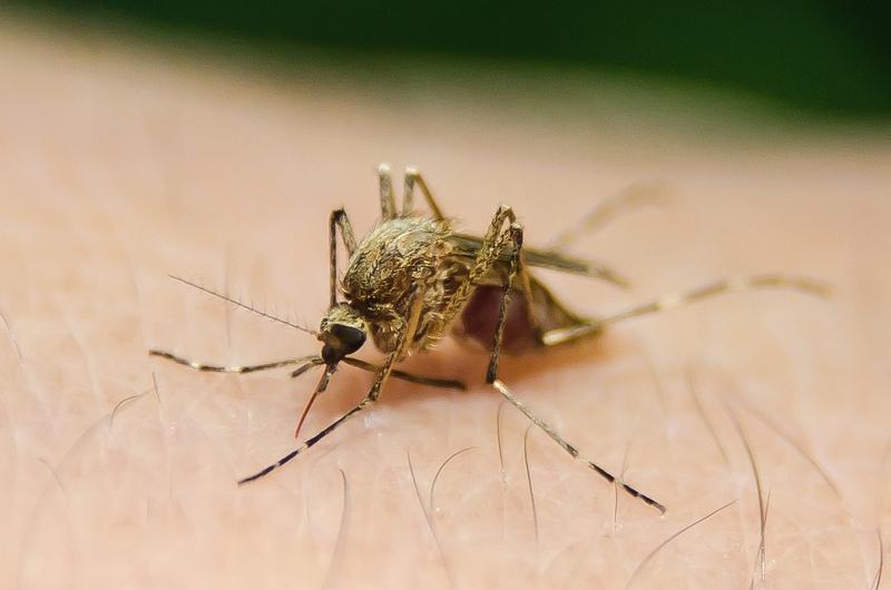 mosquito_comun