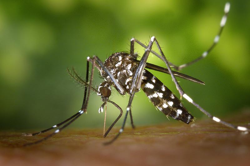 mosquito_tigre
