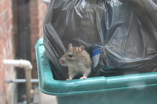 rata en un contenedor
