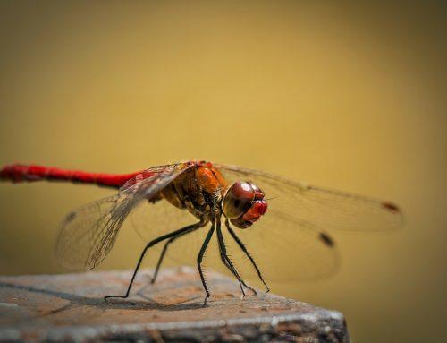 ¿Sabías que insecto es uno de los más mortíferos del planeta?