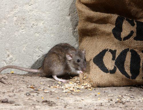 Daños provocados por los roedores