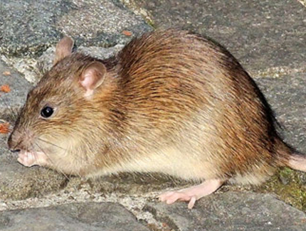 rata de alcantarilla